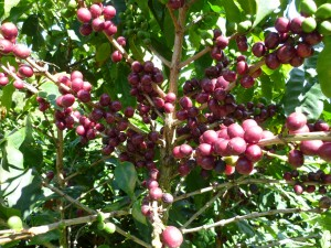 Cherries at Campanula